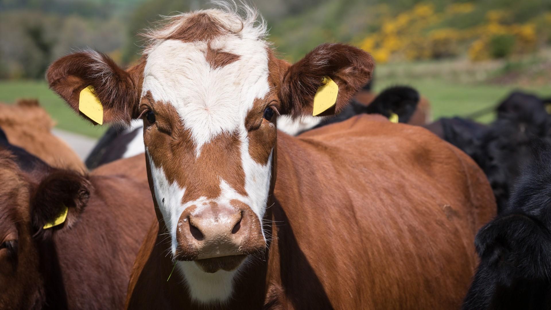separador_bovinos