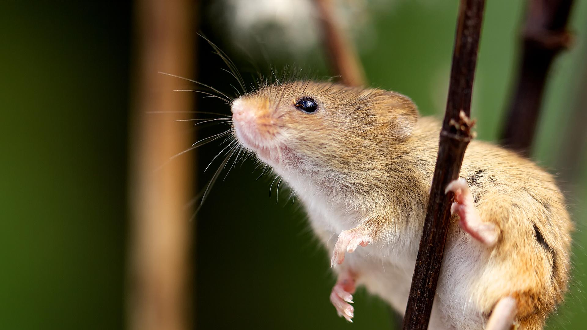separador_rodents